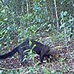 Mammals of medium and large size in Cerrado ...
