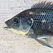 First record of the Mozambique tilapia, ...