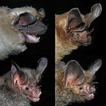 Rapid survey of bats (Chiroptera) in ...