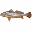 Biology and fishery of Acoupa Weakfish ...