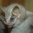 Rediscovery of Vampyressa thyone (Chiroptera, ...