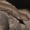 An annotated list of the reptiles of ...