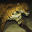 Dog predation by jaguars in a tourist ...